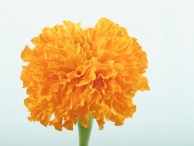オレンジのカーネーション