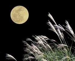 お月見ススキ